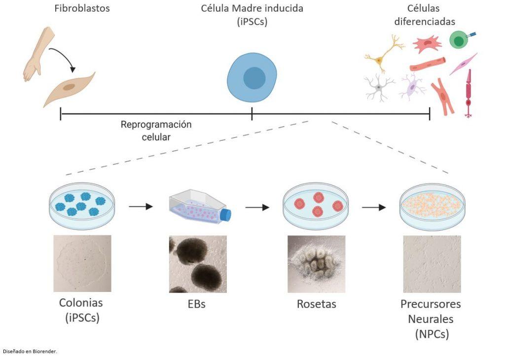 modelo-diferenciacion-celulas-madre